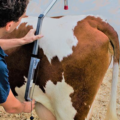 FlexCow auf Kuh anbringen